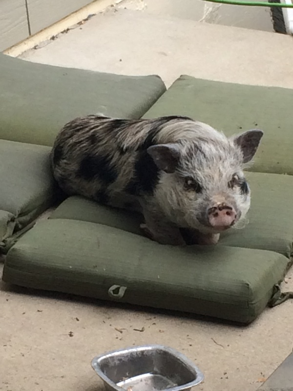 pig lying on the bed